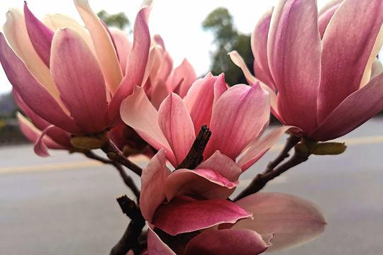 桂林温暖如春玉兰花开