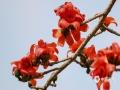 中国天气网广西站讯 近日,阳光和煦,气温适宜,崇左市江州区内的木棉花正如火如荼地开放着。公园里、左江边上、社区里到处都是红艳艳的木棉花,美艳的花朵或俏立枝头或铺满大地,崇左正迎来最美春天。(图/唐昌秀 蒙新良 文/莫海清)