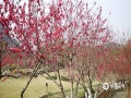"""中国天气网广西站讯 """"春风似向此中偏,一种花开百般色""""。随着天气不断的回暖,柳州公园里的碧桃竞相开放。碧桃是春天的使者,每逢春回大地,万物复苏,碧桃就成为了第一批报春使者,在泛绿的枝干上,经历一个寒冬的花蕾逐渐舒展绽放,给大地增添了一份春意。(图文/李宜爽)"""