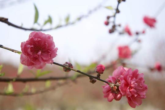 柳州碧桃盛开春色满园