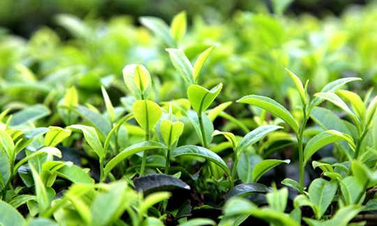 象州:春茶飘香  景色迷人