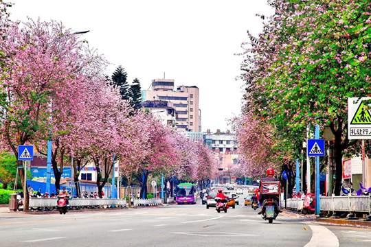 柳州:紫荆粉云绕满城