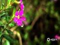 中国天气网广西站讯 今天,南宁市雨雾蒙蒙,绵绵细雨在花草叶上凝结成的水珠,像极了一颗颗晶莹剔透的珍珠。在春雨的滋润下,花朵更娇艳,草和树叶更鲜嫩了。(图文/卢威旭)