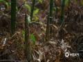 中国天气网广西站讯 时下,正是来宾市象州县采摘春笋的季节。4月1日,在象州县中平镇架村大瑶山西面的一片竹林里,放眼望去,一根一根的竹笋破土而出,空气中弥漫着淡淡春笋清香。村民卢建安正弯下腰,麻利地采摘着,不一会工夫,袋子里就装满了刚采下的竹笋。卢建安说,大瑶山上的竹笋很多,今年雨水充沛,这样的气候山里最容易生笋,并且时间长,可以从三月下旬采到四月末。(图/吴永才 文/苏庆红)