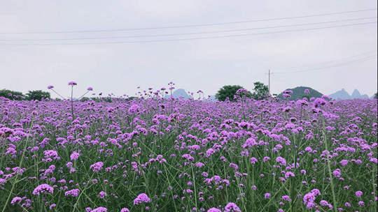 桂林:紫色马鞭草盛开