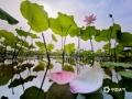 中国天气网广西站讯 5月19日,在来宾市兴宾区富尧水库边的荷花池里,荷花有的含苞欲放,有的已绽放姿彩,在蓝天和阳光的映衬下,非常好看。(图/何少芸 文/苏庆红)