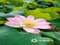 5月19日,在来宾市兴宾区富尧水库边的荷花池里,荷花有的含苞欲放,有的已绽放姿彩,在蓝天和阳光的映衬下,非常好看。(图/何少芸 文/苏庆红)