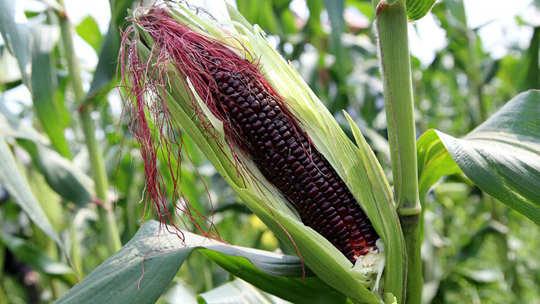 象州强降雨前抢收玉米