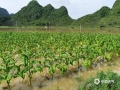 中国天气网广西站讯 受低涡切变线和弱冷空气影响,昨天(21日)梧州岑溪、百色德保等地出现强降雨天气过程。受强降雨影响,当地出现路面塌方、积涝等次生灾害。其中岑溪最大降雨出现在糯垌镇塘坪村(125.2毫米),部分低洼地势受淹,路面塌方,车辆无法通行,房屋被泥石冲毁地基,所幸无人员伤亡。而德保,最大雨量出现在龙光乡(188.9毫米)。暴雨造成县里多地农田出现积涝,多种作物不同程度受损。县城老乡家园生活区幼儿园内涝严重,整个幼儿园处在一片汪洋中,教学楼一楼积水达半层,积水超1米。目前,学校处于全面停课状态。图为烟田积涝。(图/汤贵吉 文/梁泽诚)