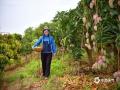 中国天气网讯 炎炎夏日,又是一年芒果飘香季。当下,广西百色田阳的芒果园内已是硕果累累,好一派大丰收的景象。图片拍摄于5月24日的田阳一处芒果园内。(图文/周冬梅)