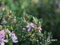中国天气网广西站讯 稔子(学名桃金娘)花,是很多人童年印象最深的花,它承载了无数人的童真和心中的快乐。时下,正是稔子花开遍山野的季节。5月27日,在来宾市象州县妙皇乡山定村附近的山坡上,成片的稔子花开得灿烂艳丽,白的、粉的花朵缀满了枝头,空气中弥漫着淡淡的香气,惹得一只只小蜜蜂忙着采蜜,这就是一幅美丽的乡村风景画,美不胜收。(图/吴永才 文/苏庆红)