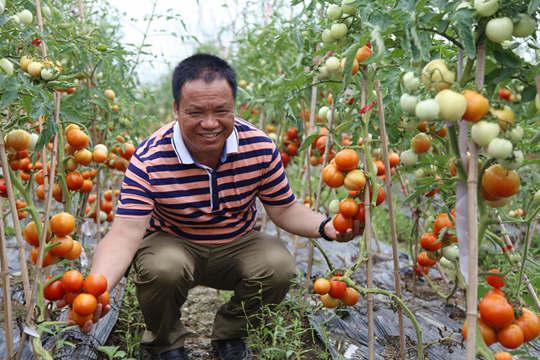 象州:又见番茄挂满枝