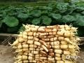 中国天气网广西站讯 柳州市柳江区百朋镇有着玉藕之乡的说法,6月24日,百朋镇分龙村的农友们正在田间挖藕、洗藕,享受着丰收的喜悦。百朋镇下伦屯的万亩荷花节也即将在6月底开幕,欢迎朋友们前来赏荷吃藕。(图文/黄象)