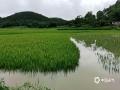 中国天气网广西站讯 今天(25日)开启端午假期,广西龙舟水猛。昨天白天到今天早上,桂中和桂东北的大部地区有暴雨到大暴雨,局部特大暴雨,我区其它地区有小到中雨、局部暴雨。百色、钦州、贵港、柳州等多地河水上涨,内涝严重,行车如行舟。图为:柳州市融安县新村西村屯农作物被淹。(文/李宜爽 图/何正令)