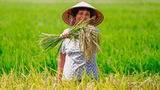 钦州早水稻成熟村民忙收割