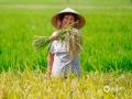 中国天气网广西站讯 6月28日,钦州又是阳光灿烂的一天,这样的好天气非常适宜进行农事活动。在钦州市钦南区康熙岭镇那沙村,金灿灿的夏水稻已经成熟,村民们正顶着烈日高温收割夏水稻,虽然辛苦但笑容依旧灿烂。(文/张馨予 图/李斌喜)