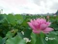 中国天气网广西站讯7月8日,柳江区百朋镇下伦屯万亩荷塘内,各色各样的荷花竞相开放,在荷叶的簇拥映衬下,如一群含羞的少女似的,看起来别具韵味。(图文/黄象)