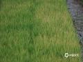 """梧州市7月持续高温少雨,其中藤县南部及岑溪市雨量偏少8~9成,其余地区偏少5~7成,全市高温日数比常年同期偏多,各地气象干旱严重。近日梧州市各级人工影响办公室连续开展了人工增雨作业。预计8月上旬梧州市将有一次明显降雨过程,气象干旱有望缓和。图为秧田里的晚稻秧苗尚未得移裁已出现""""高温灼苗""""现象。(文/黄业斐 梁海兰 图/梁妙芝)"""