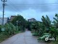 """中国天气网广西站讯 8月1日14时,南海热带低压完成了从热带低压到热带风暴的""""蜕变"""",一举夺下""""森拉克""""这个称号,成为今年第3号台风。预计,其今晚将移入北部湾,广西区气象台8月1日9时发布台风蓝色预警,同时广西区气象局进入重大气象灾害(台风)IV级应急响应状态。目前,涠洲岛已经受到台风外围云系影响,上午风雨逐渐加大,8月1日-2日涠洲-北海往返航线停航两天,3日航班待定。大部分旅游业暂停营业,船只进港上岸避风。图为:风力加大,岛上橡胶树被吹歪。(图文/黄中友)"""