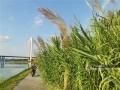 """近日,漫步邕江近江公园,江边的芦苇已经染上了秋日的金黄。秋高气爽,随手一拍,就是壮观的""""秋日大片""""。图为邕江近江公园的工作人员正在沿江巡逻。(图文/洪妦源)"""