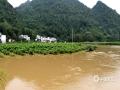 中国天气网广西站讯 受低层切变线和地面弱冷空气共同影响,9月11日晚至12日河池市金城江区普降大雨到暴雨,局部大暴雨。受强降雨影响,九圩镇三旺社区新洞柑橘种植产业示范点附近河水暴涨,大片柑橘被淹没在一片汪洋之中。大部分砂糖橘被淹没至植株一半的高度,有些砂糖橘甚至被水淹没至顶端。据示范点负责人介绍,此次强降雨影响,示范点所有砂糖橘均被水浸泡,将会对年终产量造成严重影响。(文/韦春苗 图/韦家宝)