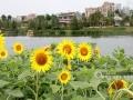 近日,南宁市江南公园金灿灿的向日葵花竞相绽放,在蓝天白云的映衬下,汇聚成一片花海,吸引了众多游客前去观光赏花、驻足留影。据悉,向日葵的花期较长,通常能达20天左右,目前观光赏花正当时。喜欢向日葵的市民朋友们,快抓紧时间去打卡吧!(图文/韦幸文 罗珊珊)