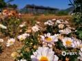 """中国天气网广西站讯 金秋时节,菊花盛开正当时。作为一种名贵的观赏花卉,菊花除药用功能外,少数品种还能当作食材,可谓秀色可餐。近日,鹿寨县中渡镇大兆村石祥屯的食用菊花迎来采摘期,青山绿竹、蓝天白墙相辉映,一幅""""采菊东篱下、悠然见南山""""的景象分外迷人。(文/欧翎 图/肖虹路)"""