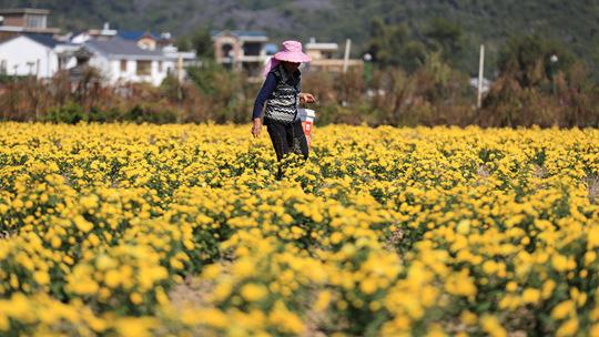 鹿寨:食用菊花迎来采摘期 秀色可餐
