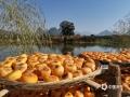 中国天气网广西站讯 10月以来,桂林市恭城县的柿子逐渐成熟,迎来采摘、晾晒季。11月11日,当地果农趁着晴好天气开展柿子的采摘和晾晒工作。(图/马艺 文/黄归兰)