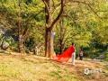 """中国天气网讯 近期天气晴朗,昼夜温差大,灵川县海洋乡的银杏叶已经披上""""黄金甲"""",在阳光的映照下银杏叶更显得光彩夺目。据悉每年的11月中旬至12月上旬,是赏银杏的最佳时期。目前这里已经成为桂林秋季旅游的网红打卡地。(图/老曾 文/郁海蓉)"""