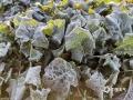 图为12日早晨,贺州市富川县麦岭镇新造岗村一菜园里的蔬菜被披上了一层白霜。(图/黄江情)