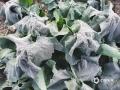 图为12日早晨,河池市环江县一乡镇出现霜冻天气,橄榄菜叶被冻住。(图/梁丽娜)