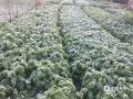 图为12日早晨,贵港桂平市一菜园被白霜覆盖的景象。(图/梁聪)