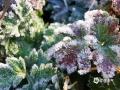 图为12日早晨,梧州市藤县的蔬菜结冰。(图/梁海兰)
