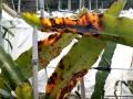 中国天气网广西站讯 1月12-13日,受强冷空气和晴空辐射降温影响,贵港连续两日出现霜冻,致使砂糖橘、沃柑、火龙果等作物出现不同程度的霜冻灾害。其中,砂糖橘受冻害影响减产、品质受损,火龙果、芋头、土豆出现不同程度的冻伤。(文/李婷 图/莫申萍)