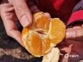 图为沃柑果实被冻坏。(图/华琦孜 文/赵祖华)