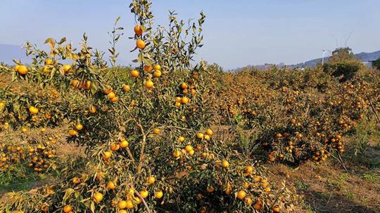 全州柑橘遭受霜(冰)冻