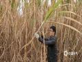 中国天气网广西站迅 1月21日,来宾市气象局农气技术人员到该市兴宾区正龙乡甘蔗基地开展霜(冰)冻灾害影响调查,发现局地甘蔗受冻害影响,其中绝大部分甘蔗生长点坏死,呈现褐色或黑色,品质不同程度受损。据悉,随着时间推移,受冻害甘蔗叶子将慢慢枯萎,蔗芯将从顶部往根部慢慢腐烂,散发酒味,糖度下降,侧芽坏死无法留种。农气技术人员提醒,种植户要尽早及时砍运受寒冻影响的甘蔗,减轻灾害损失。(图/王建东 文/苏庆红)