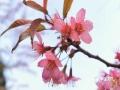 中国天气网广西站讯 1月22日,河池金城江区长排村满山的樱花已经悄然开放,浓淡适宜的粉色,娇艳可人,远看如云似霞般炫目。(图/吴雨婧 文/韦双双)