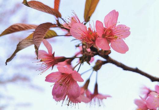 河池樱花开放娇艳可人