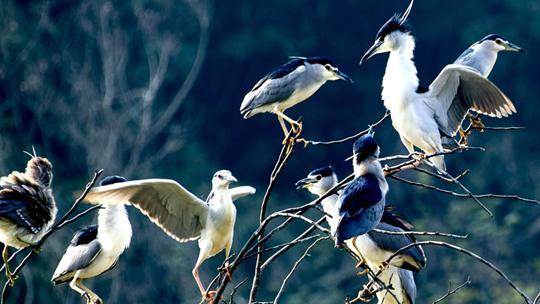 昨天南宁青秀湖畔鹭鸟枝头打闹