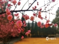中国天气网广西站讯 今日(25日),桂林王城景区内的梅花绽放,片片粉色给冬日的桂林添上绚烂一笔。 梅林里梅花娇艳盛开的美丽,花型百态千姿,在同一棵梅树上,可以看到花开的各种形态:有的含羞待放,圆鼓鼓的花苞鲜嫩可爱;有的刚刚绽放,就有几只小蜜蜂钻了进去,贪婪地吮吸着花粉;有的盛开许久,柔嫩的花瓣还有些许雨水的痕迹,惹人怜爱。(文/胡静 图/李岩)
