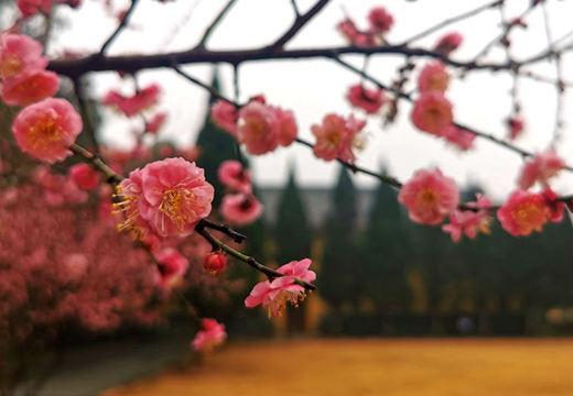 桂林冬日梅花娇艳盛开