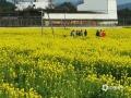 中国天气网广西站讯 近期,随着天气整体向暖,全州县各地的油菜花相继开放。图为通讯员于2月17日在全州县绍水镇322国道旁拍到的油菜花海。(图/赵祖华 文/华琦孜)
