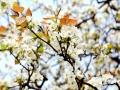 又是一年春风来,又是一年梨花开。当下,广西河池大湾村的梨树花开正艳,朵朵玉白的梨花缀满枝头,玉树银花伴着和煦的春光,着实惹人怜爱。(图文/吴雨婧)