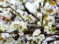 中国天气网讯 又是一年春风来,又是一年梨花开。当下,广西河池大湾村的梨树花开正艳,朵朵玉白的梨花缀满枝头,玉树银花伴着和煦的春光,着实惹人怜爱。(图文/吴雨婧)