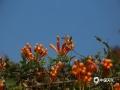 中国天气网广西站讯 近来天气持续回暖,广西来宾象州县的炮仗花也灿烂绽放,一串串金灿灿的花朵似瀑布般沿着围墙倾泻而下,色彩艳丽喜人。(文/苏庆红 图/吴永才)