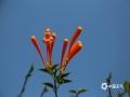 近来天气持续回暖,广西来宾象州县的炮仗花也灿烂绽放,一串串金灿灿的花朵似瀑布般沿着围墙倾泻而下,色彩艳丽喜人。(文/苏庆红 图/吴永才)