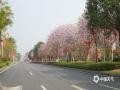 中国天气网广西站讯 春光灿烂,又见花开。近期,崇左市友谊大道的紫荆花花朵簇生,娇俏可人,美得让人陶醉,与来往的车辆相互交织,让友谊大道看起来犹如一条通往春天的花香大道。(图/唐昌秀  文/唐昌秀 郭彬)