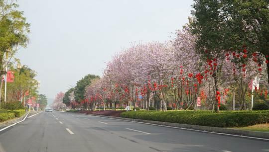 崇左紫荆花铺就花香大道